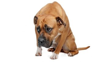 Denver Criminal Defense Attorney, Denver DUI Attorney and Denver Car Accident Attorney animal abuse 300x202 - animal-abuse